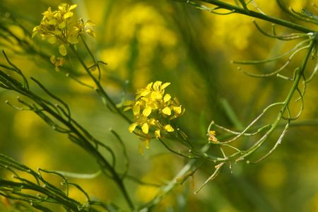 hedge plant: Flowers of hedge mustard (sisymbrium officinale), an old cultivation and medical plant.