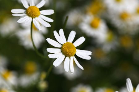 german chamomile: Chamomile flowers (Matricaria chamomilla), an important plant for herbalism and pharmacy.
