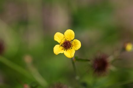 traditional medicine: Flower of a wood avens herb (Geum urbanum), a plant used in traditional medicine.