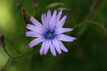 lactuca: Flower of a mountain lettuce  (Lactuca perennis). Stock Photo