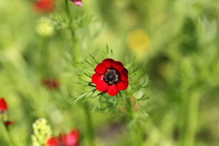 medical plant: Flower summer pheasants eye (Adonis aestivalis), a medical plant in Europe. Stock Photo