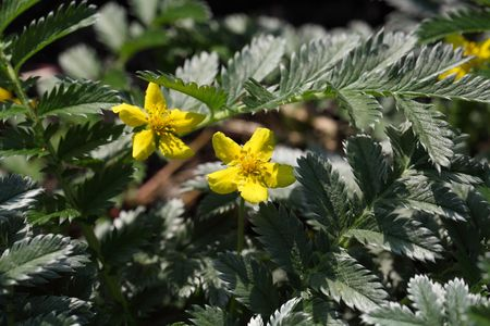 biotope: Flower and leaves of a silverweed (Argentina anserine).