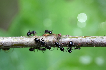 piojos: Ants and plant lice on a small branch. Foto de archivo
