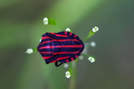 graphosoma: Italian Striped Bug or Minstrel Bug (Graphosoma lineatum)