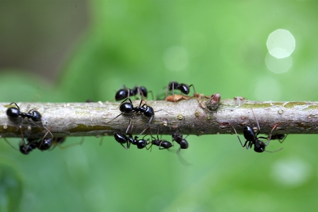 lice: Ants and plant lice on a small branch. Stock Photo