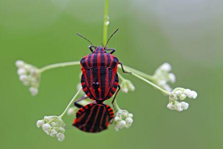 graphosoma: Italian Striped Bug or Minstrel Bug (Graphosoma lineatum)