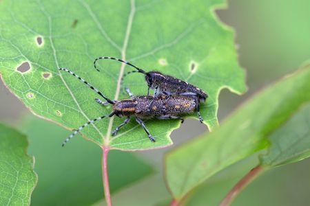 cerambycidae: A pair of small poplar borer bettles (Saperda populnea)