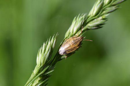 shieldbug: Macro photo of a Bishops Mitre Shieldbug (Aelia acuminata)