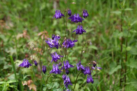 columbine: Flowers of European columbine herb (Aquilegia vulgaris).