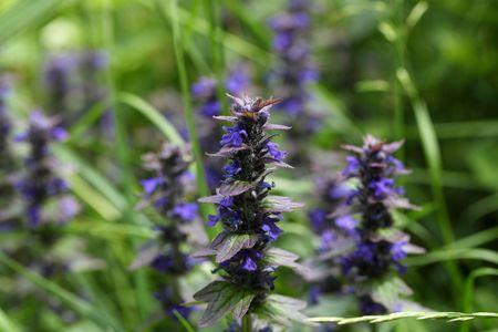 traditional medicine: Flowers of Geneva bugleweed (Ajuga genevensis), a plant used in traditional medicine.