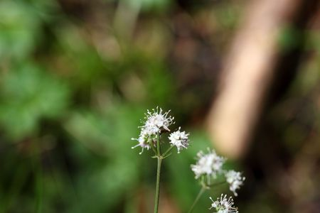 medical plant: Flower of the wood sanicle (Sanicula europaea), a medical plant in Europe.