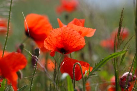 papaver rhoeas: Flowers of common poppy (Papaver rhoeas) in a field.
