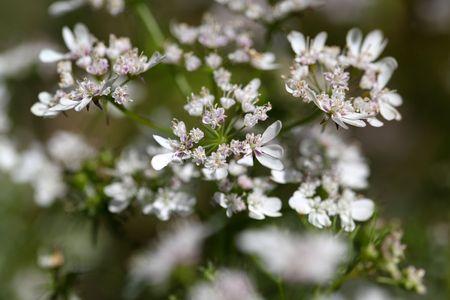 coriandrum sativum: Macro photo of Coriander flowers (Coriandrum sativum).