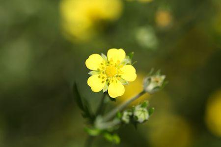 medical plant: A flower of tormentil (Potentilla erecta), a medical plant.