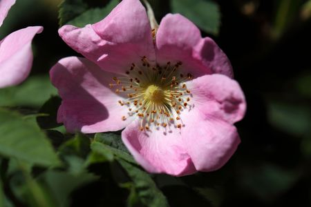 wild rose: Flower of the wild rose Rosa jundzillii from central Europe.