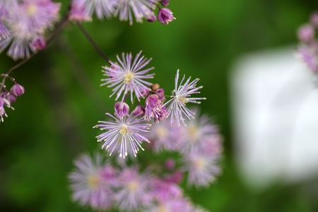 columbine: Macro photo of  columbine meadow-rue flowers (Thalictrum aquilegiifolium).