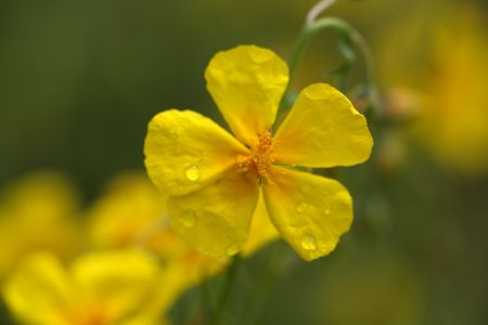 Flower of a common rock-rose (Helianthemum nummularium). 스톡 콘텐츠