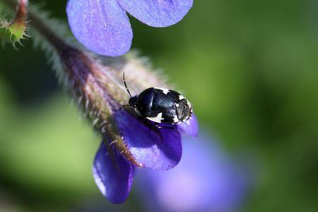 bicolor: Macro photo of a pied shield bug (Tritomegas bicolor) Stock Photo