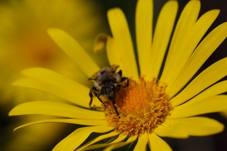 A wild bee of the species Melecta festiva.