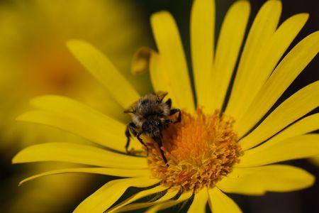 festiva: A wild bee of the species Melecta festiva.