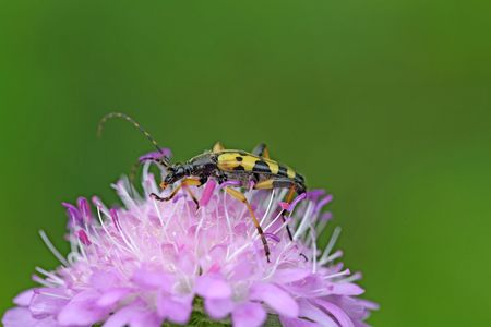 longhorn: Spotted Longhorn beetle (Strangalia maculate) on a flower.