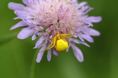 goldenrod spider: A goldenrod crab spider or flower crab spider (Misumena vatia) Stock Photo