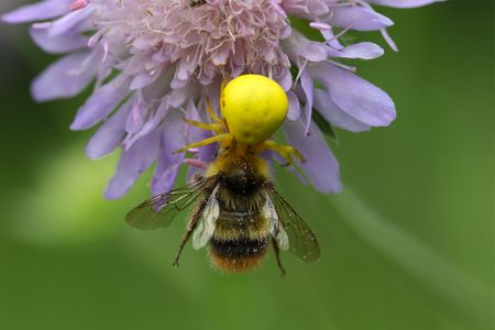 goldenrod crab spider: A goldenrod crab spider or flower crab spider (Misumena vatia) with a bumblebee.