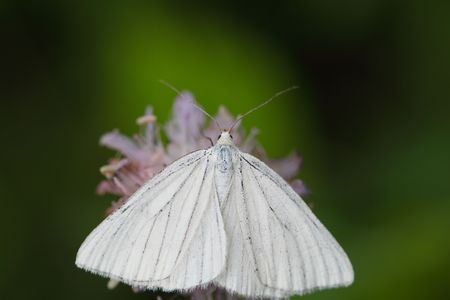 oft: A white butterfly oft he species Sinoa lineata.