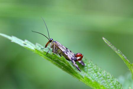 communis: Macro of a  common scorpion fly (Panorpa communis)