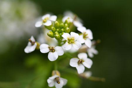 berro: Una foto macro de berro (Nasturtium officinale) flores.