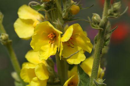 Flower of a dense flowered mullein (Verbascum densiflorum) Stock fotó