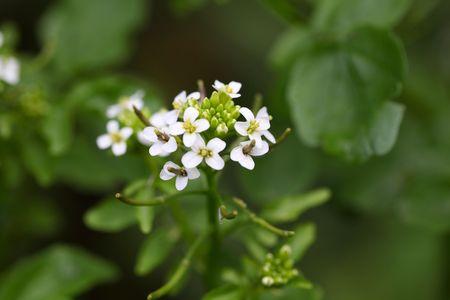 watercress: A macro photo of Watercress (Nasturtium officinale) flowers. Stock Photo