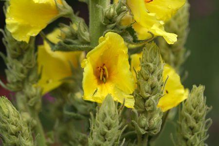 flowered: Flower of a dense flowered mullein (Verbascum densiflorum) Stock Photo