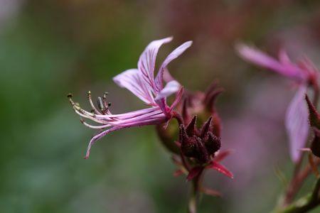 burning bush: Flower of a burning bush (Dictamnus albus)