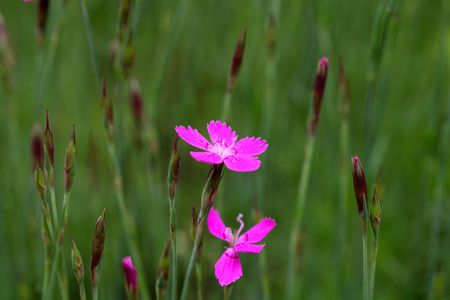 maiden: Flower of a maiden pink (Dianthus deltoides)