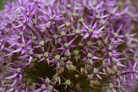 allium: Flowers of a Persian onion (Allium cristophii)