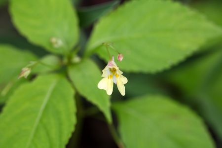 balsam: Flower of a Small  Balsam plant (Impatiens parviflora)