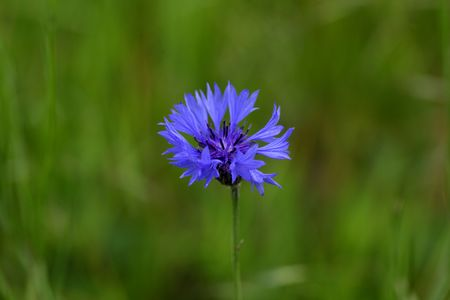 centaurea: Macro photo of a cornflower (Centaurea cyanus) Stock Photo