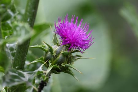 Flower of a Scotch Thistle (Silybum marianum)
