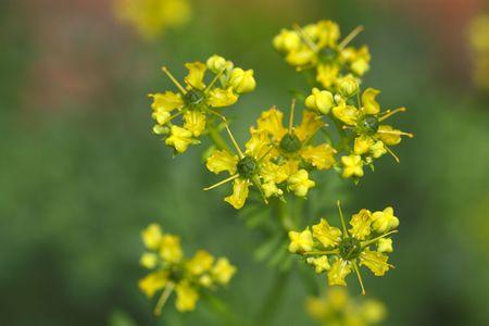 ruta: Flower of a common rue plant (Ruta graveolens).