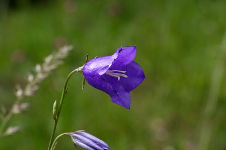 Flower of a peach-leaved bellflower (Campanula persicifolia)