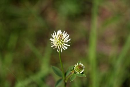 trifolium: Flower of a mountain clover (Trifolium montanum) Stock Photo