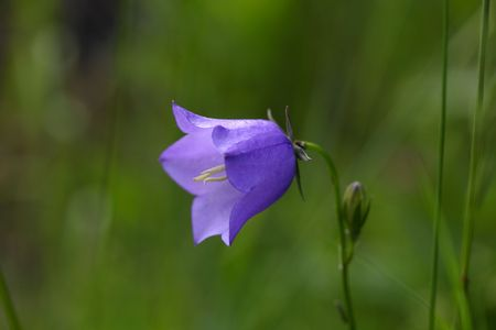 bellflower: Flower of a peach-leaved bellflower (Campanula persicifolia)