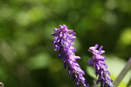 vetch: Flower of a tufted vetch (Vicia cracca)