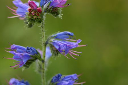 viper: Flowers of a blueweed or viper bugloss (Echium vulgare)