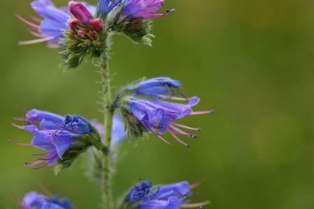 echium: Flowers of a blueweed or viper bugloss (Echium vulgare)