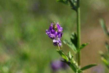Alfalfa or Lucerne flowers (Medicago sativa) in a field.