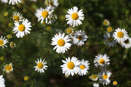 false: Flowers of a false chamomile (Tripleurospermum inodorum)