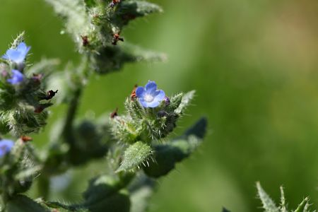 arvensis: Flowers of a small bugloss or annual bugloss (Anchusa arvensis) Stock Photo