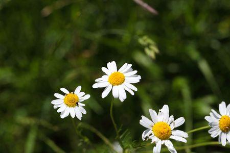 falso: Flowers of a false chamomile (Tripleurospermum inodorum)